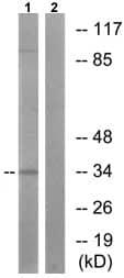 Western blot - Cyclin H (phospho T315) antibody (ab73208)