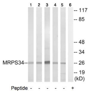 Western blot - MRPS34 antibody (ab74104)