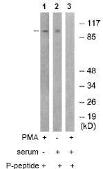 Western blot - PKC mu (phospho S738 + S742) antibody (ab74105)