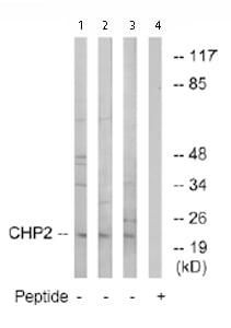 Western blot - Chp2 antibody (ab74233)
