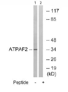 Western blot - ATPAF2 antibody (ab74235)