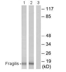 Western blot - Fragilis antibody (ab74699)