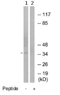 Western blot - DNAJB4 antibody (ab74811)