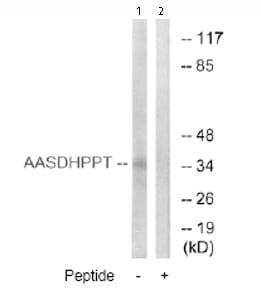 Western blot - AASDHPPT antibody (ab74984)