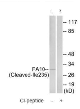 Western blot - Factor Xa Heavy Chain antibody (ab75180)