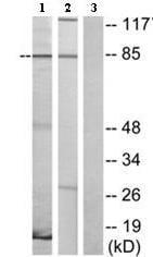 Western blot - VN2R1P antibody (ab75189)
