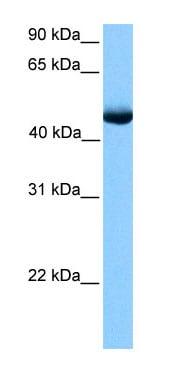Western blot - PAOX antibody (ab75199)