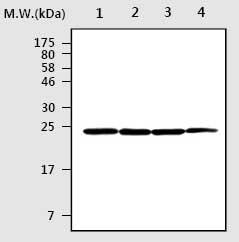 Western blot - UCHL1+3 antibody (ab75275)