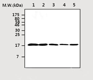 Western blot - Cofilin antibody [AF2C2] (ab75510)