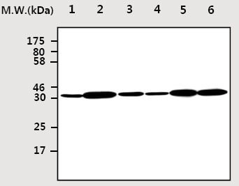 Western blot - Cdk4 antibody [AF10A4] (ab75511)