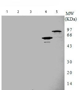 Western blot - DNA Gyrase A antibody [7F11] - Aminoterminal end (ab75592)