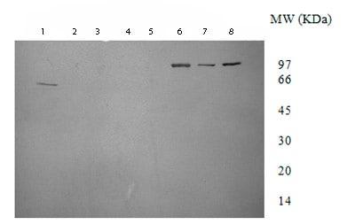 Western blot - DNA Gyrase A antibody (ab75594)