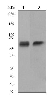 Western blot - CAMKIV antibody [EP2564Y] (ab75874)