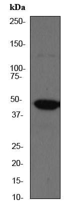 Western blot - AP2 gamma antibody [EP2693Y] (ab75992)