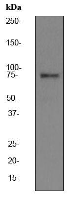 Western blot - Calpain 2 antibody [EPR2562Y] (ab75994)