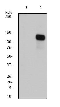 Western blot - FAK (phospho Y576) antibody [EP1987Y] (ab76120)