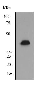 Western blot - GATA1 antibody [EP2819Y] (ab76121)
