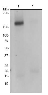 Western blot - ErbB 4 (phospho Y1258) antibody [EP2272AY] (ab76132)