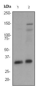 Western blot - Torsin A antibody [EP2569Y] (ab76133)