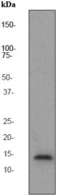 Western blot - Anti-Histone H2B antibody [EP2327] (ab76246)