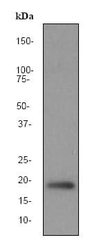 Western blot - Pin1 antibody [EP1479Y] (ab76309)