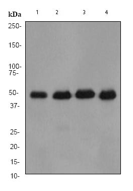 Western blot - IRF3 antibody [EP2419Y] - Carboxyterminal end (ab76409)