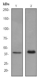 Western blot - PU.1/Spi1 antibody [EPR3159Y] (ab76542)