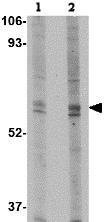 Western blot - TRIM30 antibody (ab76953)