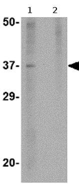 Western blot - Akirin2 antibody (ab77052)