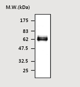 Western blot - STEP / PTPN5 antibody [T41] (ab77123)