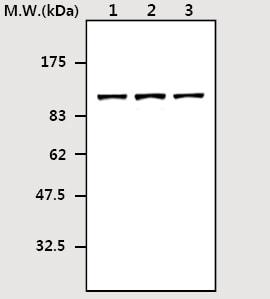 Western blot - RSK3 antibody [3A3] (ab77126)