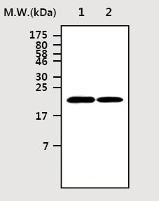 Western blot - Ferritin Heavy Chain antibody [3F8] (ab77127)