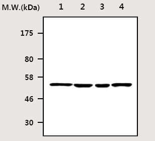 Western blot - PTEN antibody [16F3] (ab77128)