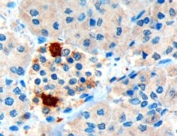 Immunohistochemistry (Formalin/PFA-fixed paraffin-embedded sections) - Pancreatic Polypeptide antibody (ab77192)