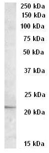 Western blot - APOBEC3C antibody - C-terminal (ab77360)