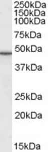 Western blot - M6PRBP1 antibody (ab77365)