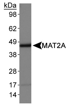 Western blot - MAT2A antibody (ab77471)