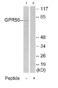 Western blot - GPR56 antibody (ab77515)