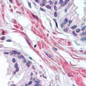 Immunohistochemistry (Formalin/PFA-fixed paraffin-embedded sections) - FNTA antibody (ab77984)