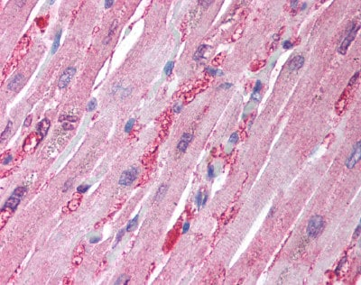 Immunohistochemistry (Formalin/PFA-fixed paraffin-embedded sections) - Aldolase antibody (ab78339)