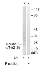 Western blot - Claudin 6 (phospho Y219) antibody (ab78347)