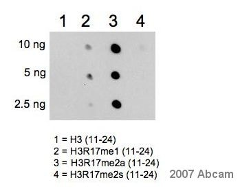 Dot Blot - Histone H3 (asymmetric di methyl R17) antibody - ChIP Grade (ab8284)