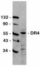 Western blot - DR4 antibody (ab8414)