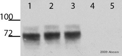 Western blot - V5 tag antibody - ChIP Grade (ab9116)