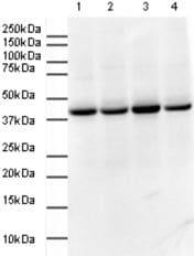 Western blot - GAPDH antibody (ab9385)