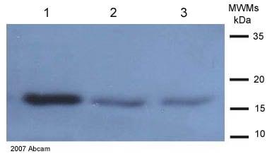 Western blot - TNF alpha antibody (ab9739)