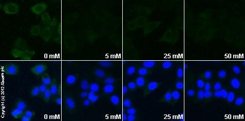Immunocytochemistry/ Immunofluorescence - Anti-HIF-1-alpha [H1alpha67] antibody (ab1)