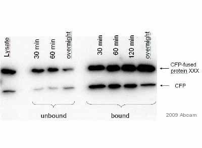 Immunoprecipitation - GFP antibody [LGB-1] (ab291)