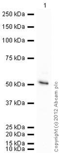Western blot - Anti-NCF1 antibody (ab795)