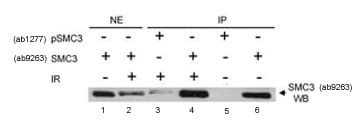Immunoprecipitation - SMC3 (phospho S383) antibody (ab1277)